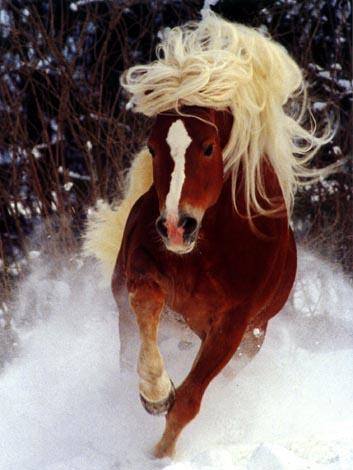 http://c3c.ru/horses/porody/img/porody/Gaflinger/2.jpg
